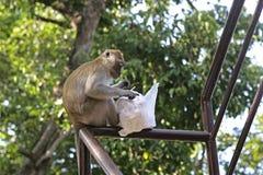 Voler le singe avec sa proie photos libres de droits