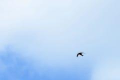 Voler noir d'hirondelles de grange Photo stock