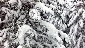 Voler par la forêt de pin banque de vidéos