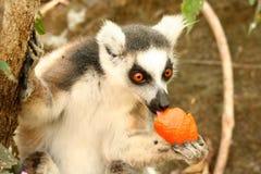 Voleur de mandarine images stock