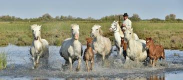 Voleur et chevaux blancs de Camargue avec des poulains fonctionnant par l'eau Image libre de droits