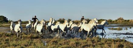 Voleurs et troupeau de fonctionnement blanc de chevaux de Camargue Photo stock