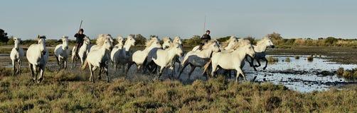 Voleurs et troupeau de fonctionnement blanc de chevaux de Camargue Images libres de droits