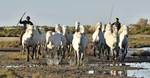 Voleurs et troupeau de fonctionnement blanc de chevaux de Camargue Photographie stock