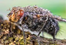 Volez, des baisses de l'eau, humides, pluie, macro, grands yeux de mouche photos stock