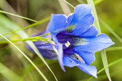 Volez en visitant un d& x27 de col de fleur de gentiane ; Aubisque Images stock