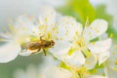 Volez sur la fleur de prune avec le pollen dans le printemps Macro de fleur de prune Images libres de droits