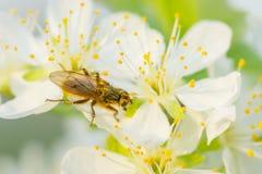 Volez sur la fleur de prune avec le pollen dans le printemps Macro de fleur de prune Photos libres de droits