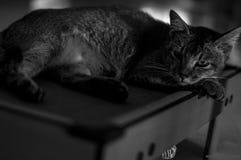 Volgende Cat Top Model Royalty-vrije Stock Afbeeldingen