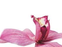 Volgende rode orchidee Stock Afbeelding