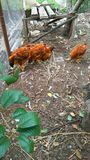 Volière avec les poulets rouges images stock