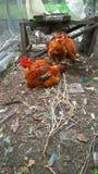 Volière avec les poulets rouges photos stock