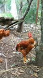 Volière avec les poulets rouges photographie stock