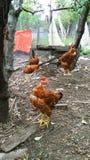 Volière avec les poulets rouges image libre de droits