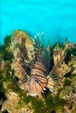Volitan Lionfish in Aquarium Stock Photography