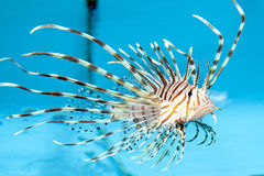 Volitan Lionfish Displaying Stock Photo