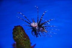 Volitan nahes Riff des Pterois im tiefen Wasser stockbilder