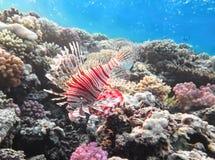 Volitans del Pterois, Lionfish en el arrecife de coral Foto de archivo