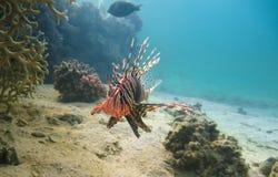 Volitans del Pterois, Lionfish en el arrecife de coral Fotografía de archivo libre de regalías