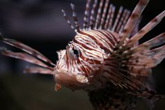 Volitans do Pterois Fotografia de Stock Royalty Free