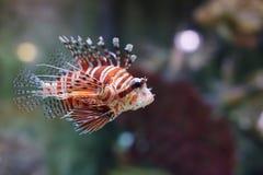 Volitans do Pterois dos peixes imagens de stock royalty free