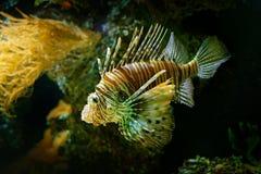 Volitans do Pterois, Lionfish vermelho, peixe do veneno do perigo na água do mar Peixes do leão no habitat do oceano da natureza Imagens de Stock Royalty Free