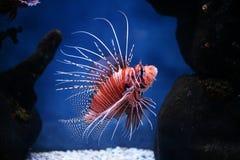 volitans pterois рыб тропические Стоковые Фотографии RF