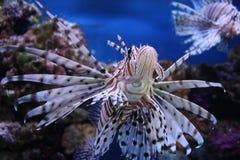 volitans pterois lionfish стоковое фото rf
