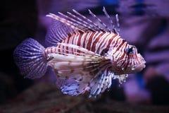 Volitans tropicaux de Pterois de poissons Images stock