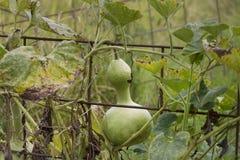 Voljärkalebass som växer på vinrankan royaltyfri bild