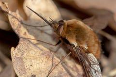 Volkomen gecamoufleerd bizar insect met zeer lange boomstam of zuigorganen stock fotografie
