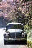Volkswagen Beetle на проселочной дороге около дерева cerasoides сливы Стоковые Фотографии RF