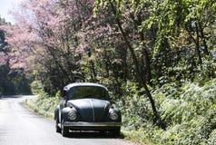 Volkswagen Beetle на проселочной дороге около дерева cerasoides сливы Стоковые Изображения RF