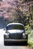 Volkswagen Beetle on the side road near prunus cerasoides tree Royalty Free Stock Photos