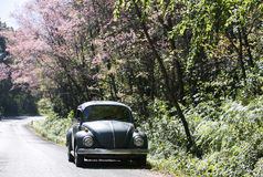 Volkswagen Beetle on the side road near prunus cerasoides tree Royalty Free Stock Images