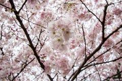 Voll-geblühte Kirschblüten in Shinjuku Gyoen, Tokyo, Japan stockfotos