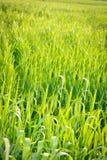 Voll gefülltes grünes Weizen-Gras, in archiviert lizenzfreie stockfotografie