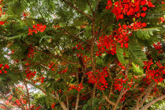 Voll gewachsenes Rot färbte Baum auf einer Straße zur Hügelstation, Salem, Yercaud, tamilnadu, Indien, am 29. April 2017 stockfotografie