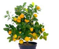 Voll vom kleinen Zitrusfruchtbaum Stockfotos