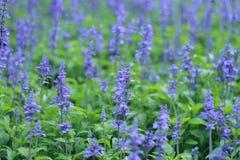 Voll vom Lavendel Stockfotos