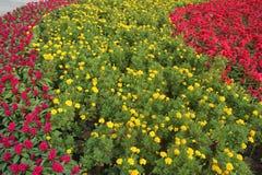 Voll von den roten und gelben Blumen im Garten Stockfoto