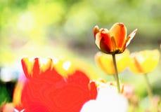 Voll von Sonne Tulpe danÑ  ing Flamenco Lizenzfreie Stockfotografie