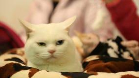 Vollblütige Katzen Munchkin und Sphynx, die vor Haustierausstellung, Tiere sich entspannen stock footage