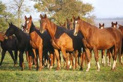 Vollblütige Pferde, die auf einem grünen Gebiet in ländlichem Pasturelan weiden lassen Lizenzfreie Stockbilder