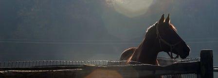 Vollblütiger Hengst, der über Zaun schaut Stockfotografie