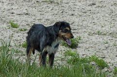 Vollblütiger Hund auf dem Naturschutz-Landhaus in Plana-Berg Lizenzfreies Stockfoto
