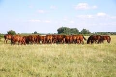 Vollblütiges gidran Fohlen- und Stutenweiden lassen ruhig zusammen auf Weide lizenzfreie stockfotografie