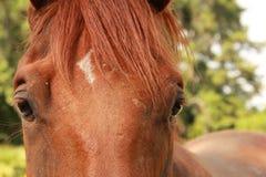 Vollblütiges Pferd Stockbilder