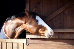 Vollblütiges Pferd, das aus Stall heraus schaut Lizenzfreies Stockfoto