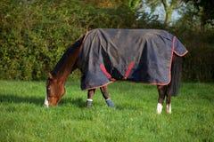Vollblütiges Pferd, das eine Wolldecke trägt Lizenzfreie Stockfotos